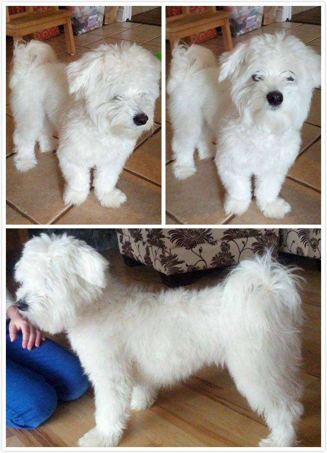 craft amigurumi crochet cutie dog doggie doll gift kids maltese